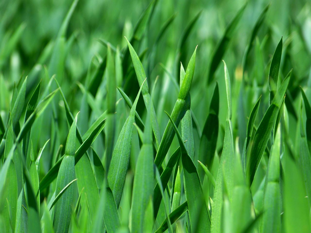 Tráva - toto není puškvorec
